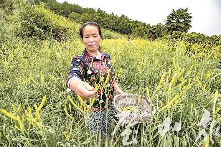 重庆特产传说(257)   此花可煮汤可烧肉清朝就有了,璧山大路黄花你了解下?