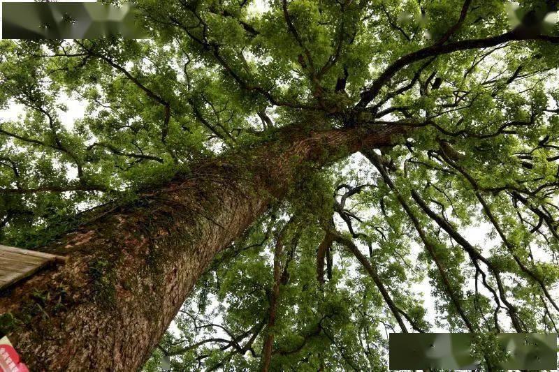湖南八成以上天然林获省级以上津贴-亚冠下注(图1)