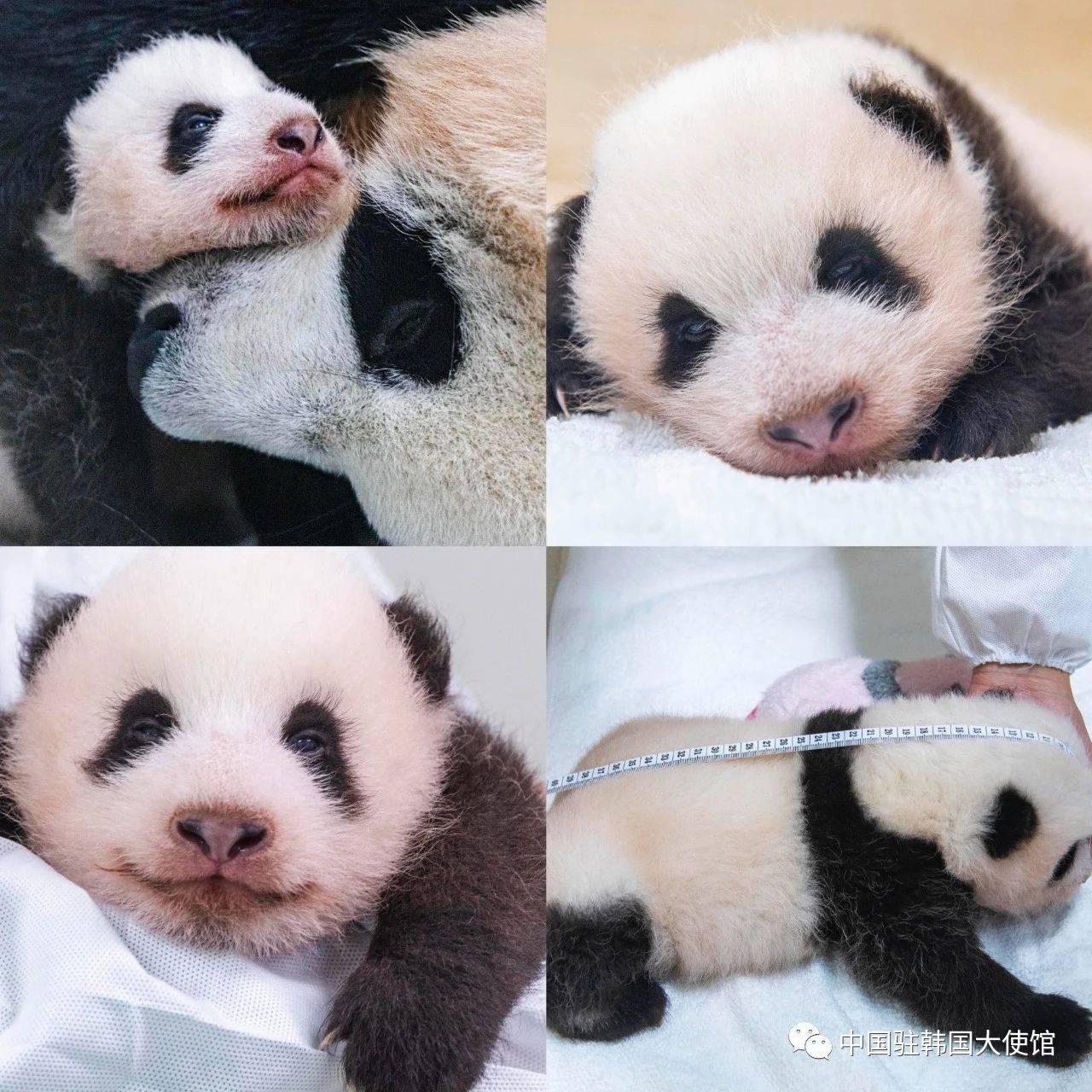 寓意像星星一样闪耀 韩国女星看熊猫宝宝