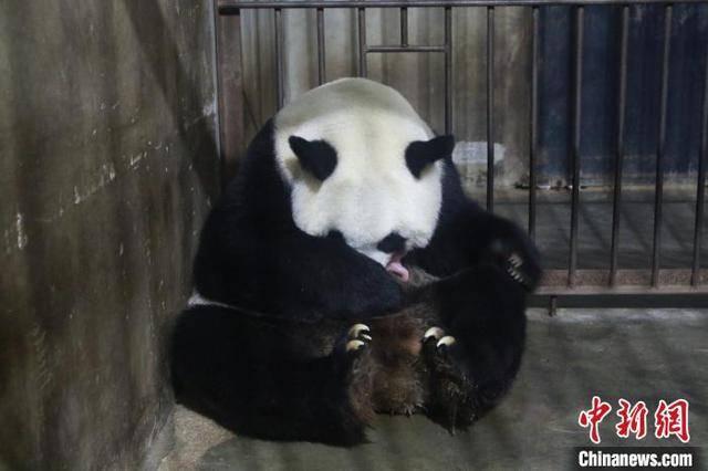 秦岭大熊猫繁育研究中心高龄大熊猫珠珠诞下一幼仔