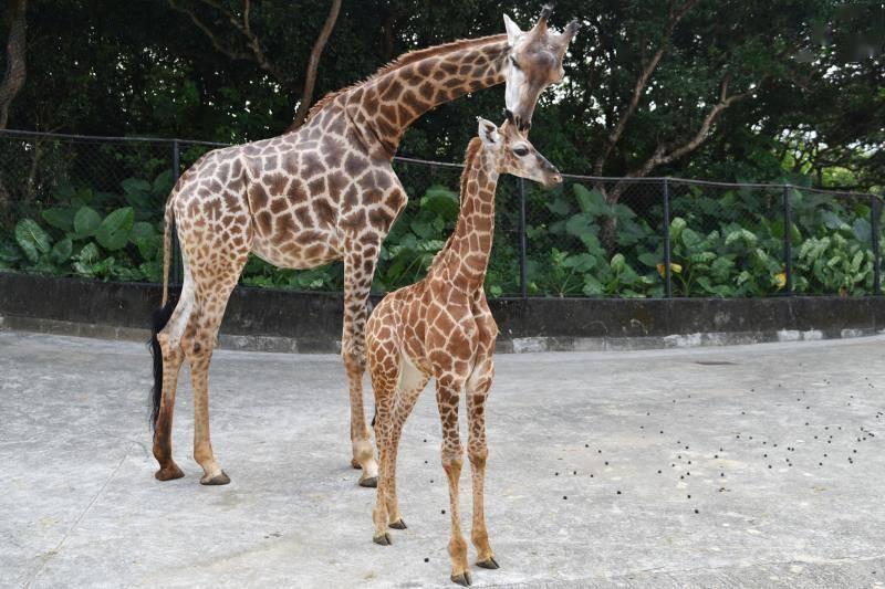 深圳野生动物园小长颈鹿茁壮成长