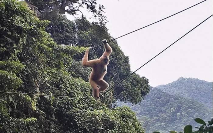 为濒危海南长臂猿保育助力 人工桥保护措施受肯定