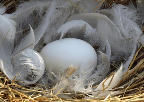 鹅肉常见鹅蛋却少见!鹅蛋的3大功效你都知道吗?