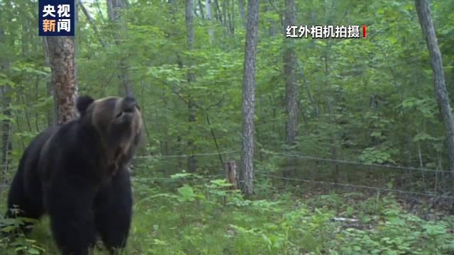 恒达首页小兴安岭首次找到东北虎吃熊珍贵影像证据,现场留有虎的卧迹 (图18)