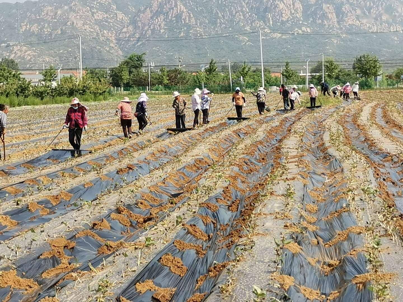每日优鲜开绿色通道,帮扶10万斤蜜薯走出北京密云不老屯