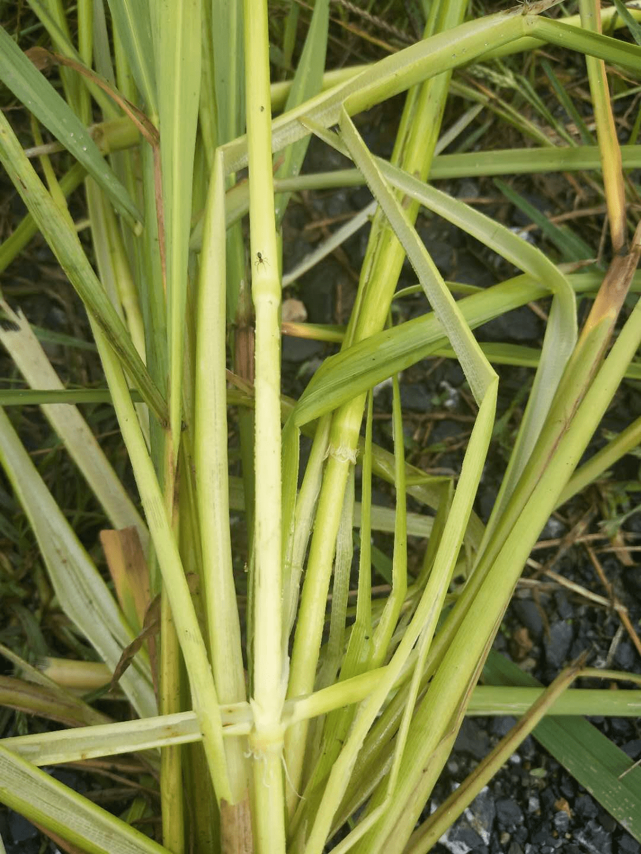 水稻的生长过程简笔画
