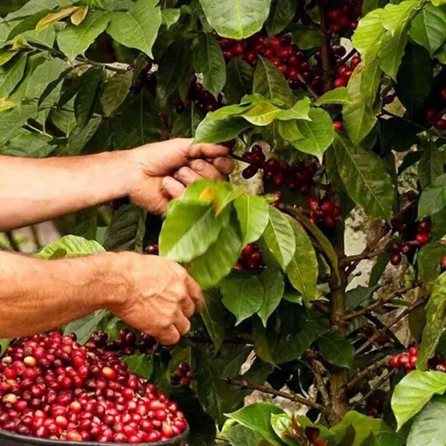几个小众咖啡产地的咖啡,你了解吗 博主推荐 第8张