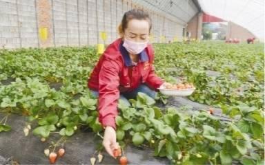 阜新草莓 中国草莓文化旅游节上获金奖