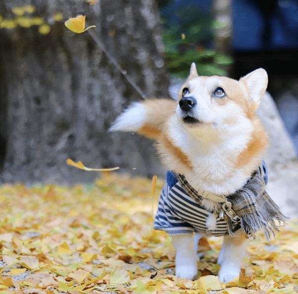 没断尾的柯基成了行走的表情包,网友:这才是狗狗该有的模样