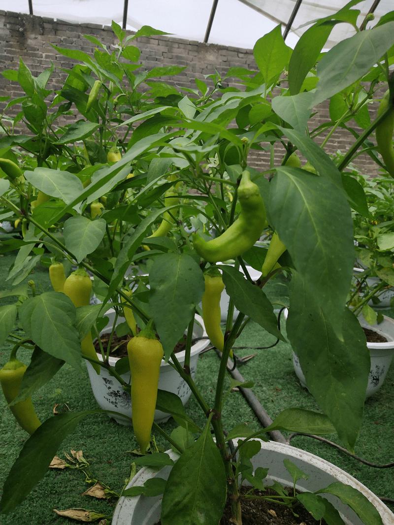 石家庄这个地方的功能性蔬菜产品要火了