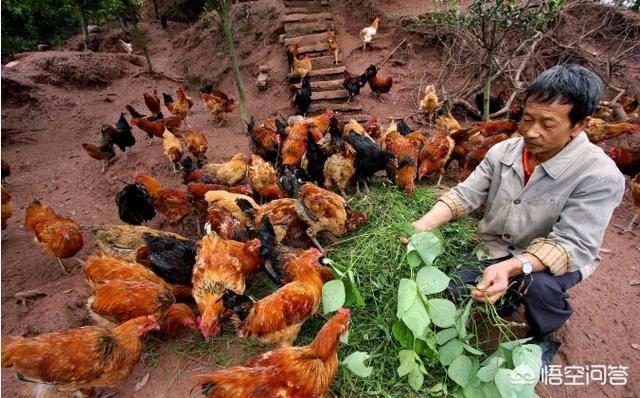 农村养殖什么好养(养1000只鸡一年收入)