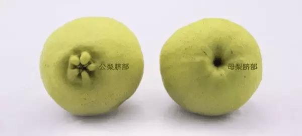 库尔勒香梨功效与作用(如何挑选库尔勒香梨)插图(1)