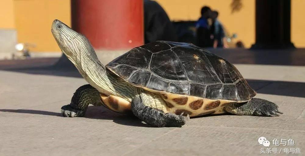 大鳄龟寿命(新手大鳄龟好养吗)插图