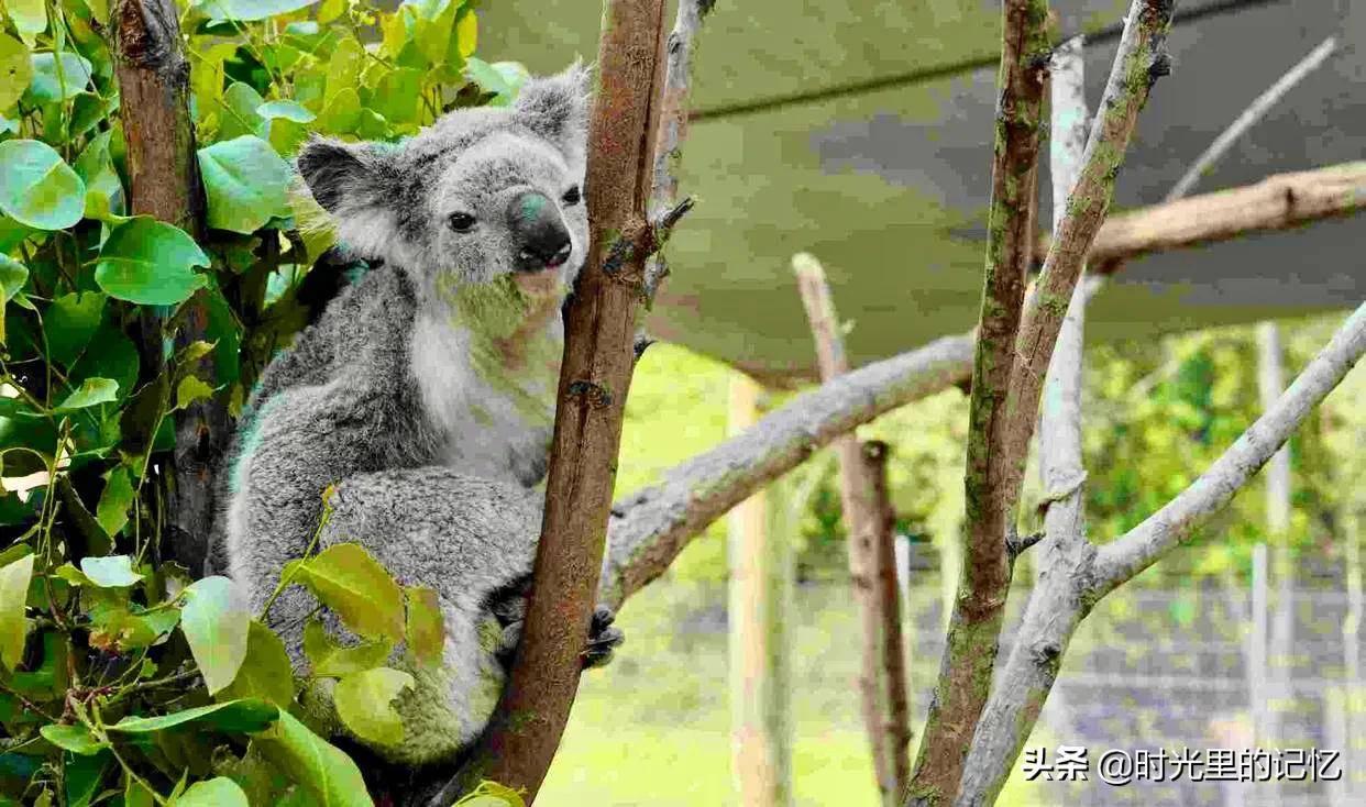 考拉是什么动物的别称(为何澳大利亚国徽不是考拉呢)插图(1)
