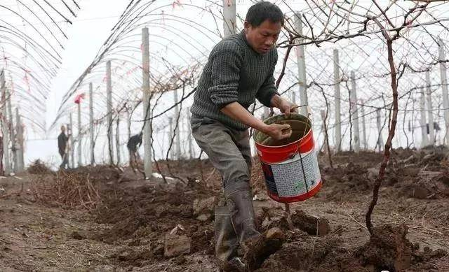 葡萄怎么用催芽肥,下一茬才能够树壮产量高呢?