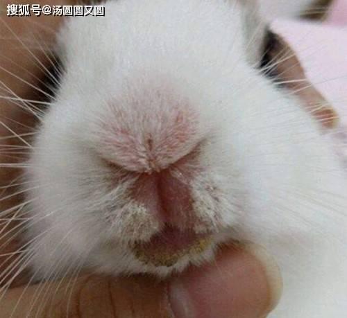 【养宠小知识】兔子为金宝搏体育什么会烂嘴巴,兔子烂嘴