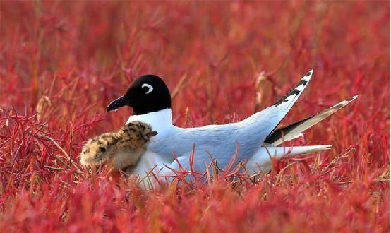 黑嘴鸥攫升国家一级保护动物 生物多样性保护任重道远