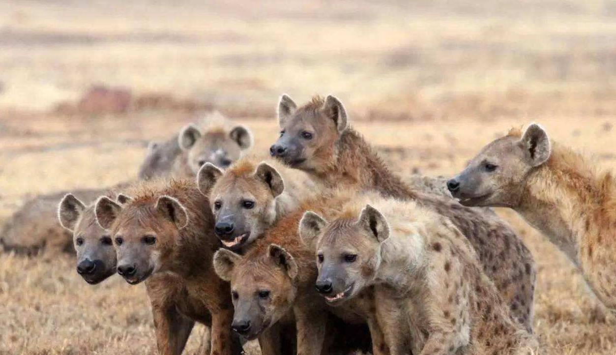 雄狮大战40鬣狗 50只鬣狗猎杀一头雄狮