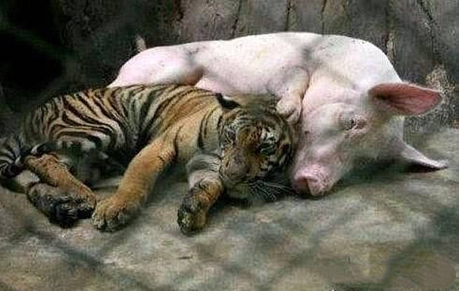 将老虎和母猪放在一起,越养越觉得差错劲:大