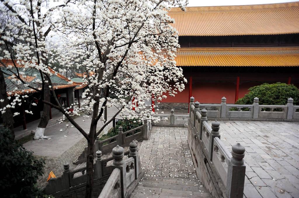 美极了!朝天宫玉兰花开了,堪称南京最美的古风玉兰花观赏地