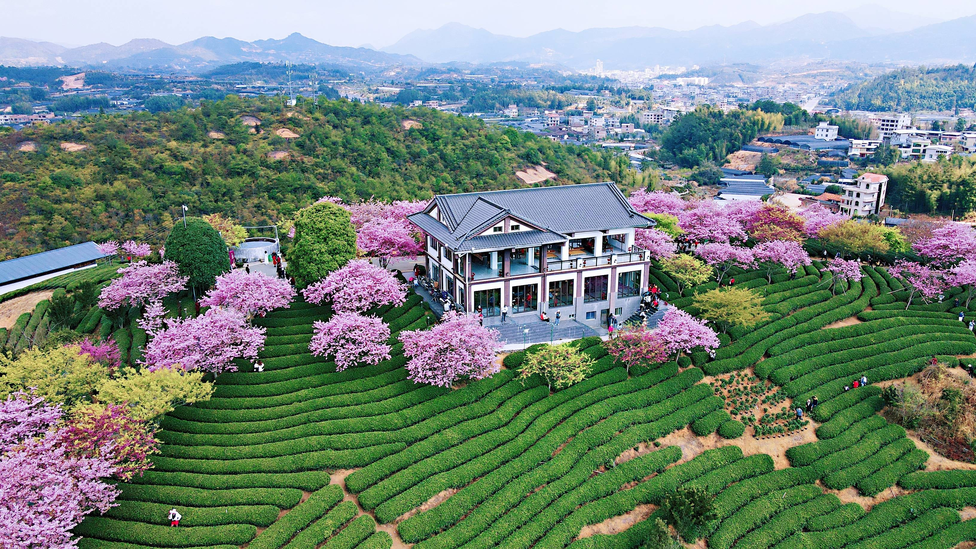 6ac2fb02dab84ddb956d0c5c55b2cb51 - A guide to viewing cherry blossoms in Fujian, China's most beautiful cherry blossom sacred land, Alishan on the mainland_台品- Sohu