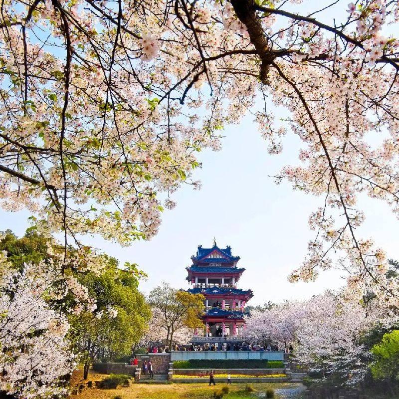 阳春三月樱花盛开美如仙境,在中国第一赏樱胜地遇见最美春天
