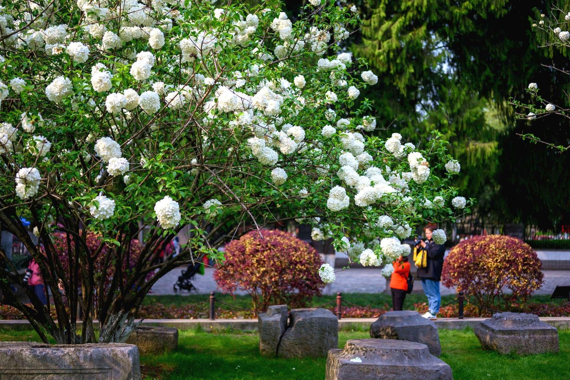 又到一年绣球花开时,南京这2个地方是最佳的观赏地,门票都免费