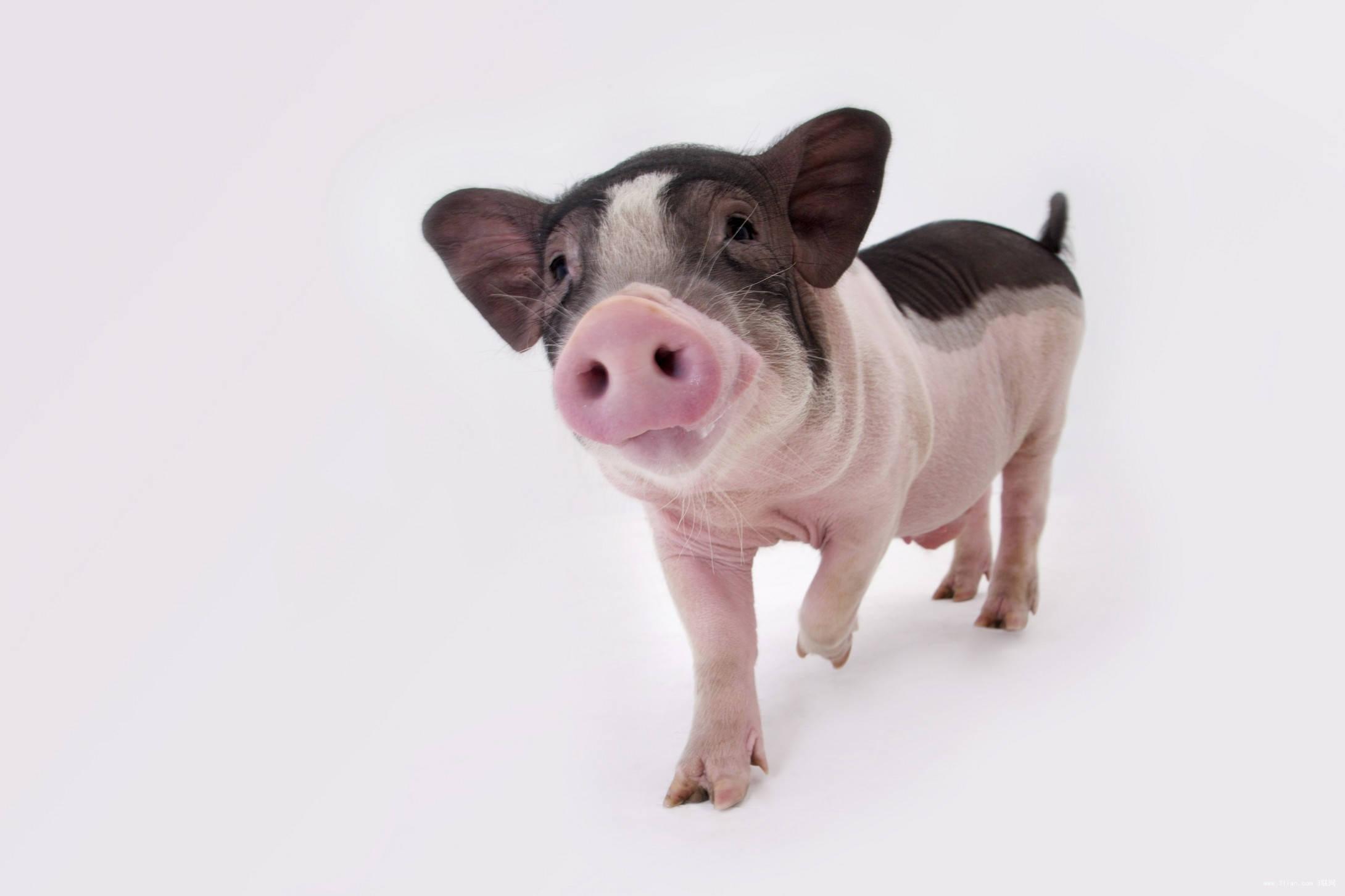 梦见一头猪是什么寓意? 梦见煮熟的猪骨头