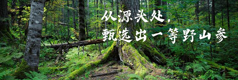 鹿树下野参行从源头处甄选出一等野山参