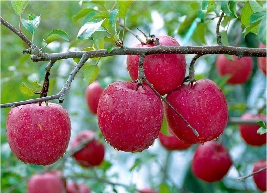 心理测试:口渴时你会摘哪个苹果吃?测你最近有什么好事要来了  第2张