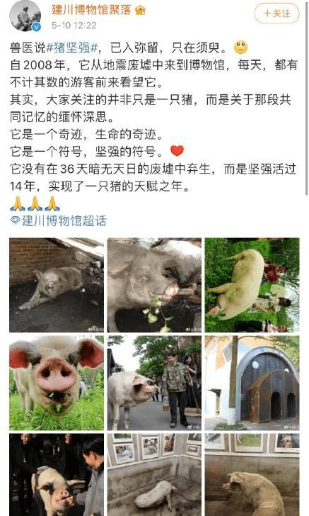 512汶川地震猪坚强最新消息 猪坚强已入弥留是什么意思?