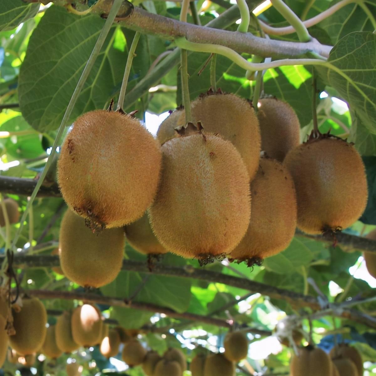 猕猴桃又叫奇异果吗?(最好的猕猴桃是哪种)