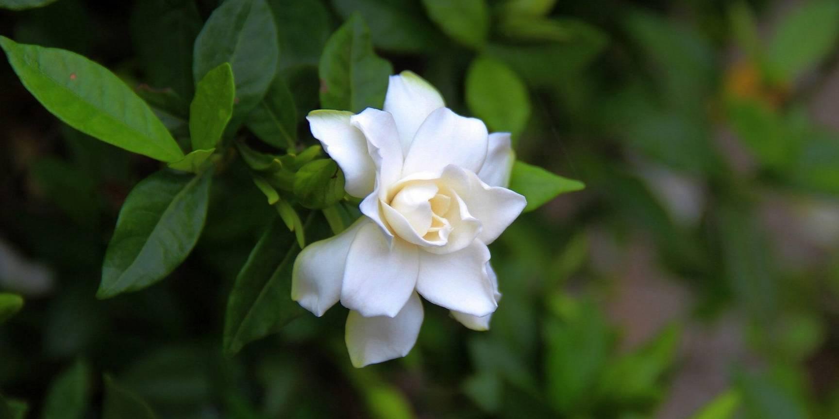 木槿花皱纹纸(皱纹纸白玉兰花)