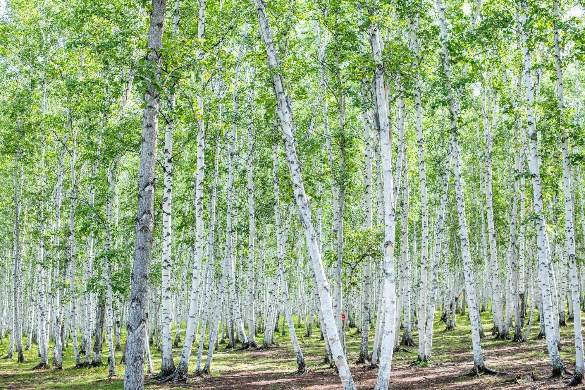 """林深时见鹿,梦醒时见""""白桦林"""",内蒙古这个超美森林你去过吗?"""