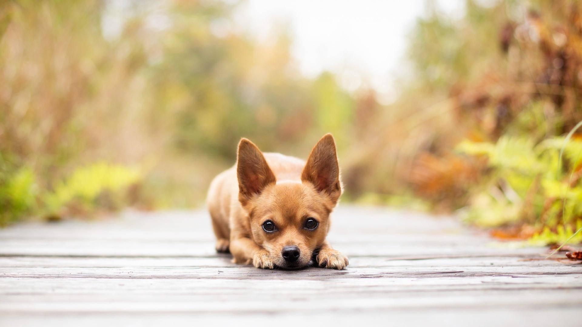 如何正確食用狗鈣片?狗狗正確的補鈣方式是什麼?