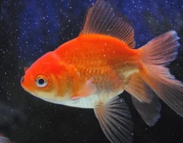 心理测试:假如有4只金鱼,你会养哪只?测你近期身边有什么好事发生