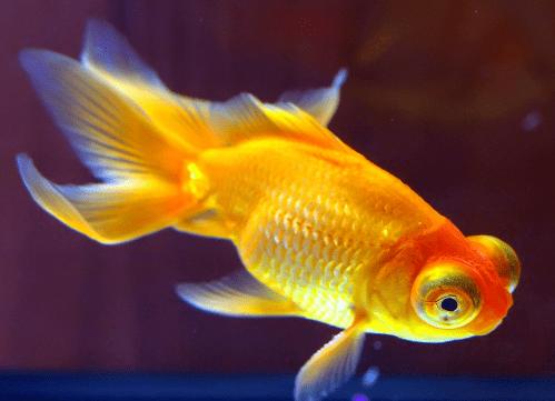 心理测试:假如有4只金鱼,你会养哪只?测你近期身边有什么好事发生  第3张