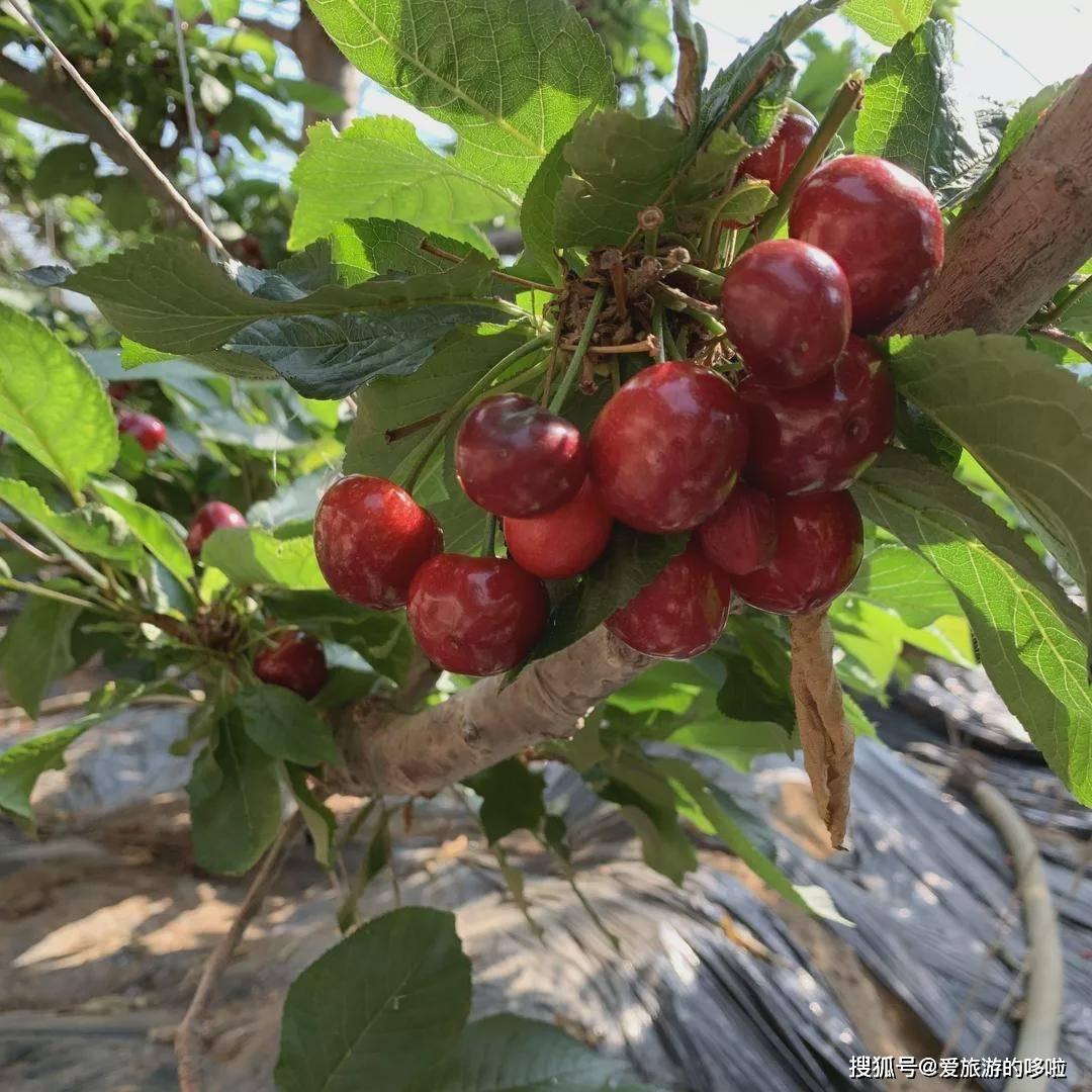 口感巅峰的山东大樱桃,比进口车厘子新鲜两万公里,便宜10倍!