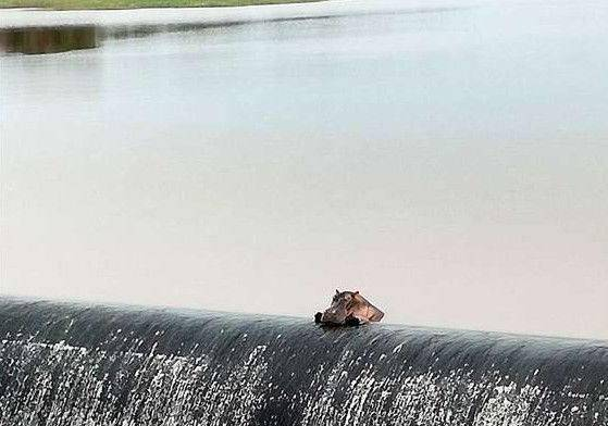 史上最呆萌的河马走红,就因每天趴拦沙坝上思考人生