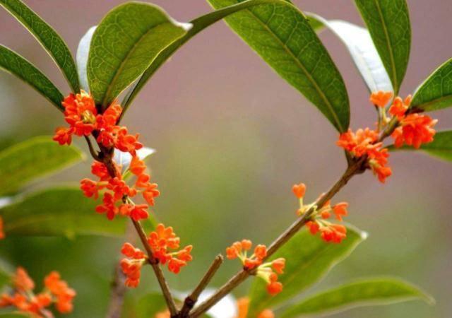 """""""一种树""""养阳台,秋季就能开花,比香水还香,放哪都是一道"""