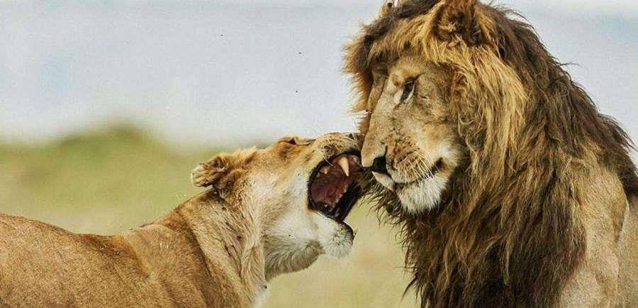 非洲雄獅和東北虎誰的戰鬥力強,獅子能殺死老虎嗎?
