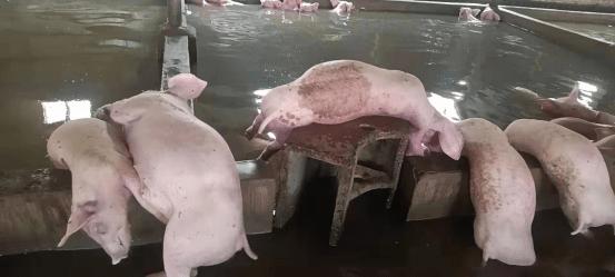 河南浚县洪灾导致数百猪死亡 养殖户:希望灾后有养殖类的支援