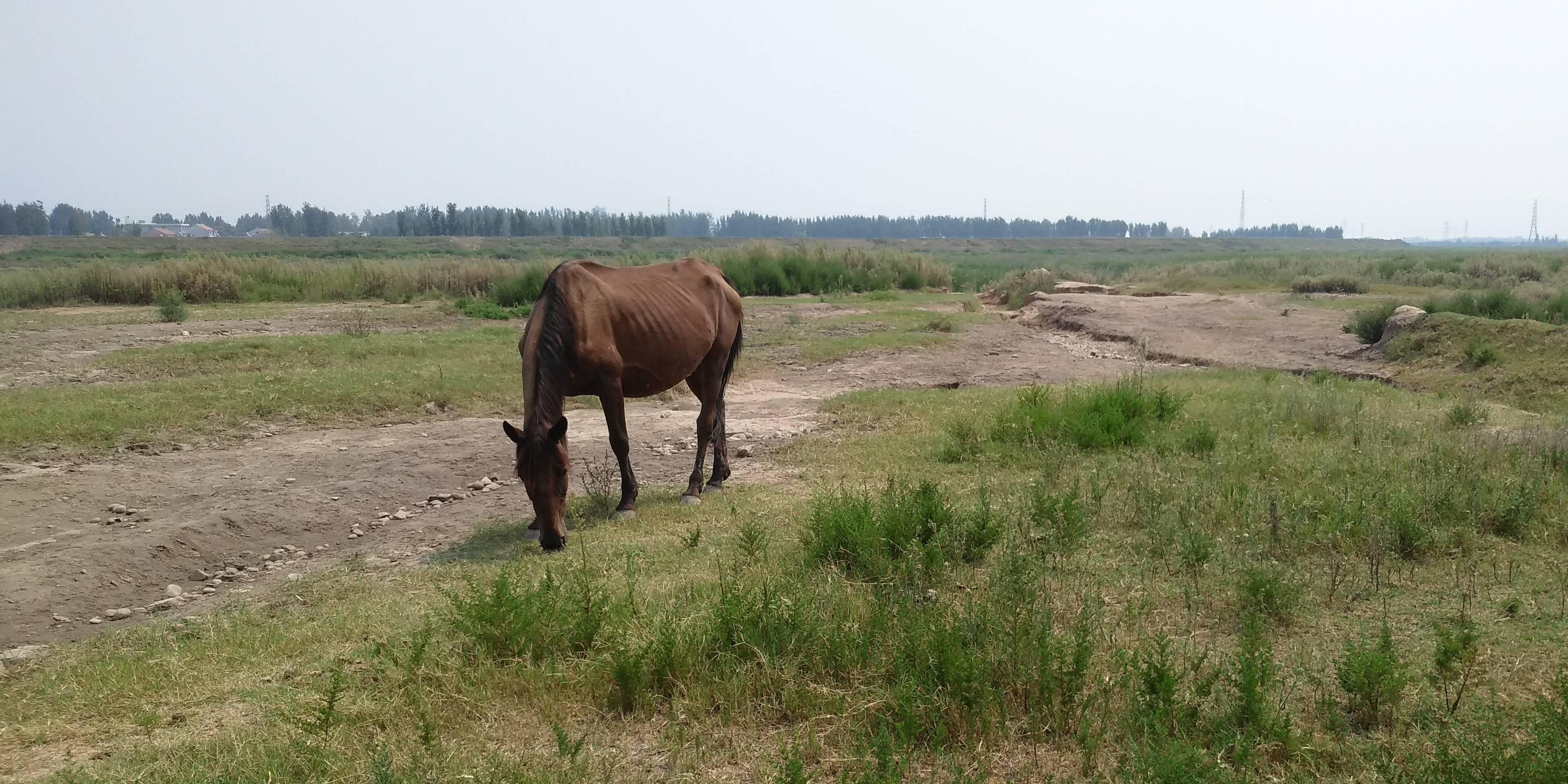 焦作大沙河成跑马滩和白鹭园,成群的马和数不清的白鹭随处可见