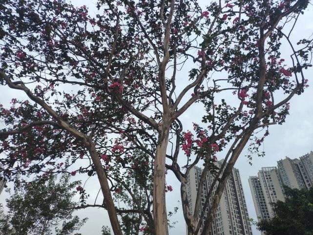 重庆:秋风瑟瑟,紫薇争奇斗艳