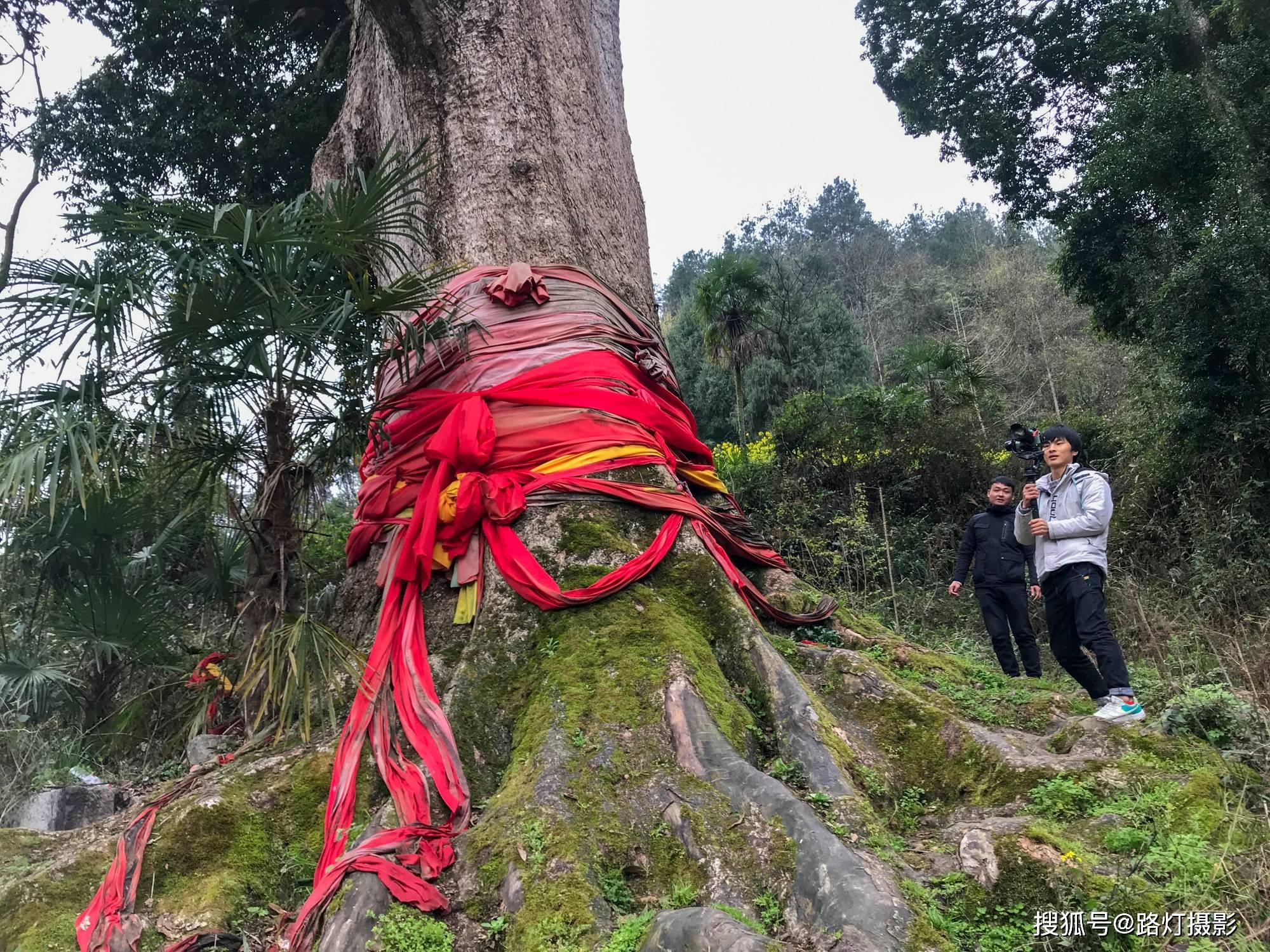 贵阳发现4300年金丝楠木,因渡劫失败被火焚烧,如今价值上亿元