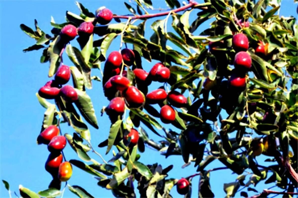 已婚人梦见枣树摘枣吃 已婚男性梦见在树上摘枣