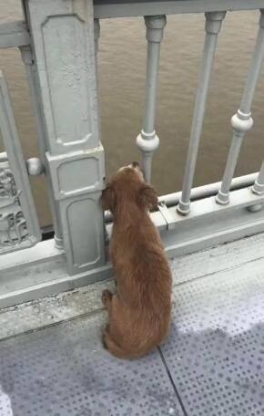 感动!主人跳桥宠物狗守望桥面不走 有好心人想抱走它小狗跑掉