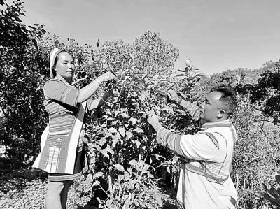 云南亚诺寨以茶兴业、以茶富民