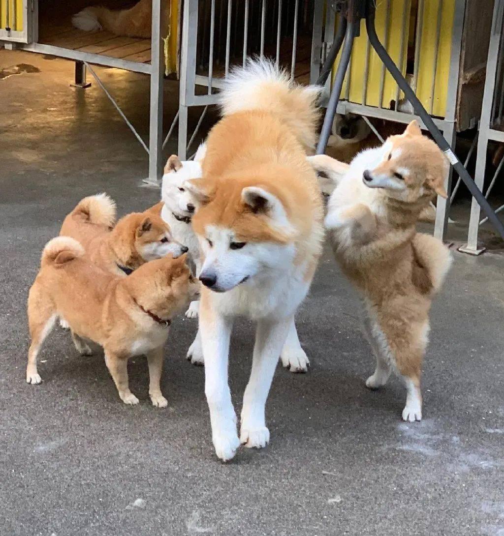 当秋田误入了柴犬窝:请问这是小人国吗?
