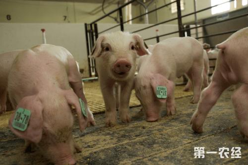"""首农食品集团旗下北京首农种猪科技有限公司(以下简称""""首农种猪公司"""")发布消息,顺利实现首次从PIC美国公司跨国引进曾祖代种猪"""